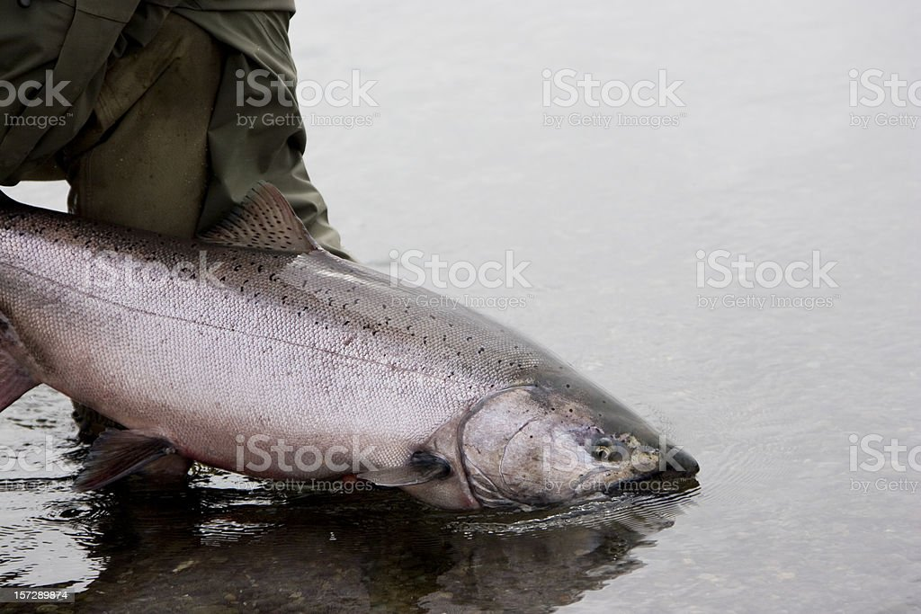 Alaska King Salmon Release stock photo