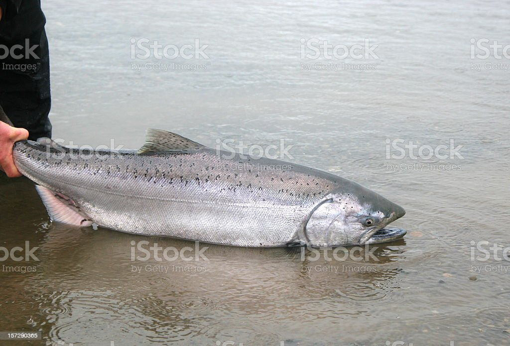 Alaska King Salmon Release stock photo