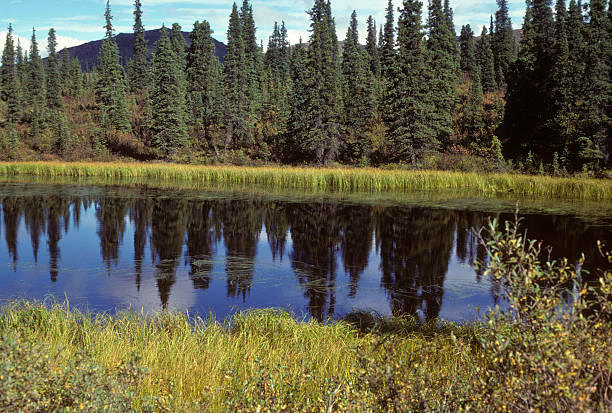 Alaska lake and reflected forest A forest and deep blue sky are reflected in this pristine Alaska lake hearkencreative stock pictures, royalty-free photos & images