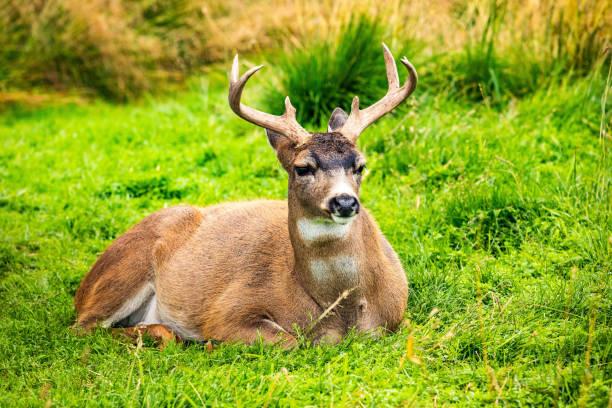 Alaska male sitka black-tailed deer close up portrait stock photo