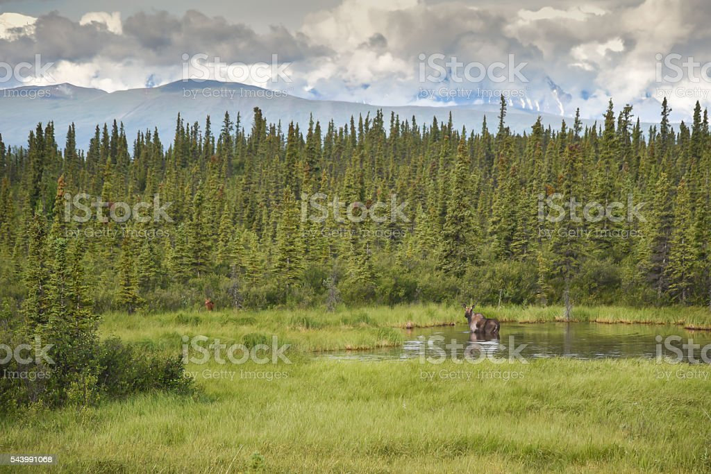 Alaska Moose in Pond Against Summer Landscape stock photo