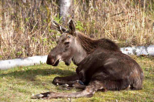 Alaska moose (Alces alces gigas) stock photo
