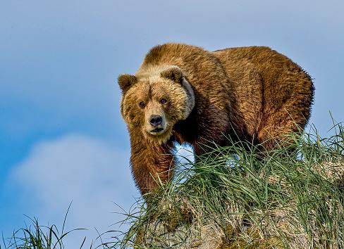 Alaska Peninsula brown bear, Ursus arctos, in Hallo Bay of Katmai National Park, Alaska. Female on rock looking for a dangerous male bear.
