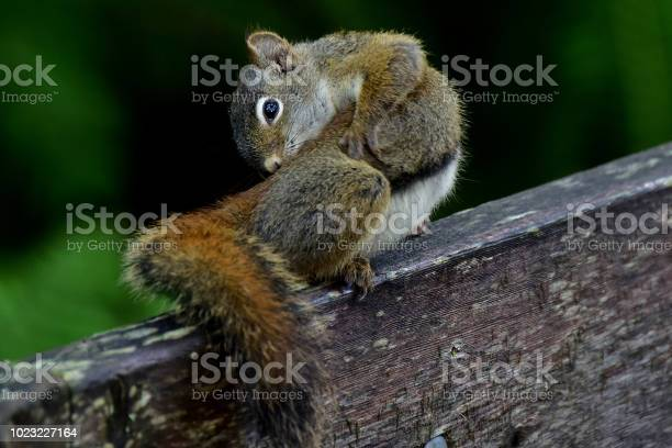 Photo of Alaska Red Squirrel