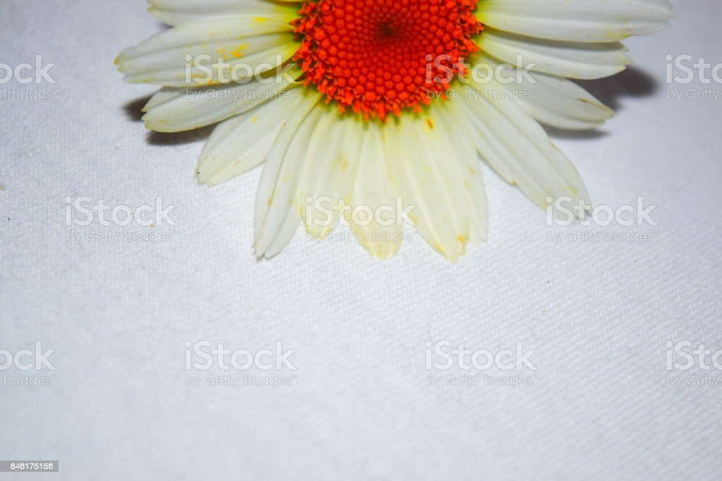 Alaska Shasta Daisy Bloom at Top with White Background stock photo