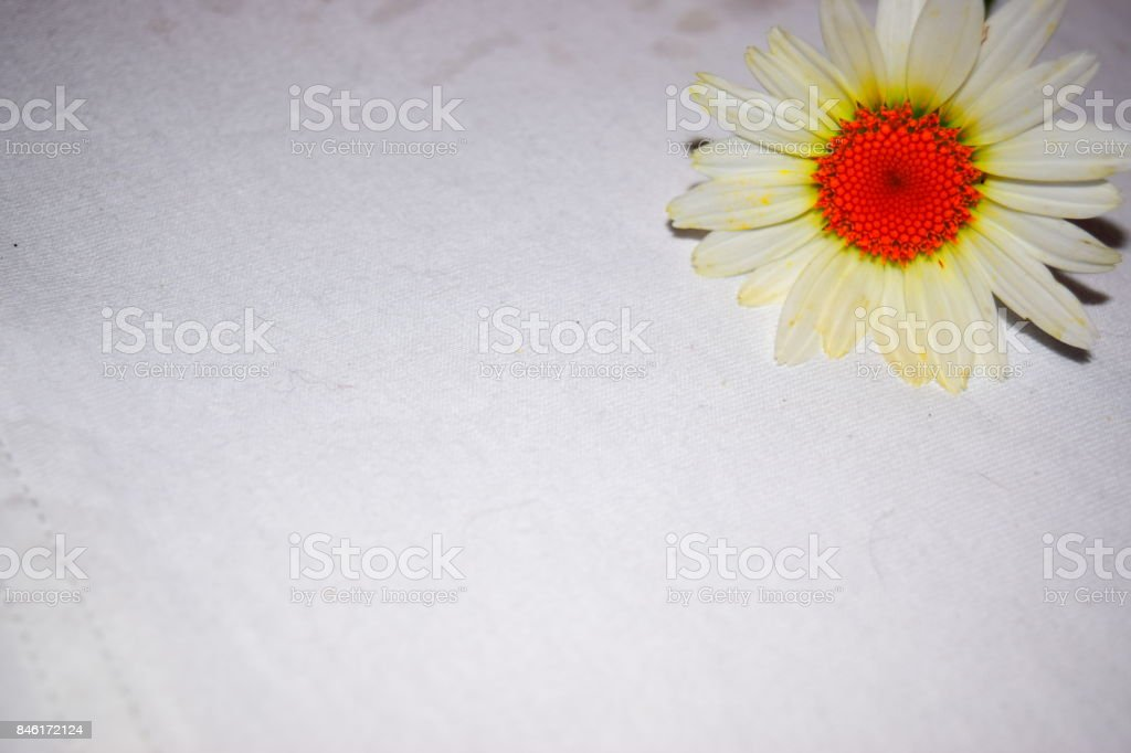 Alaska Shasta Daisy Flower Bloom with white background add added color stock photo