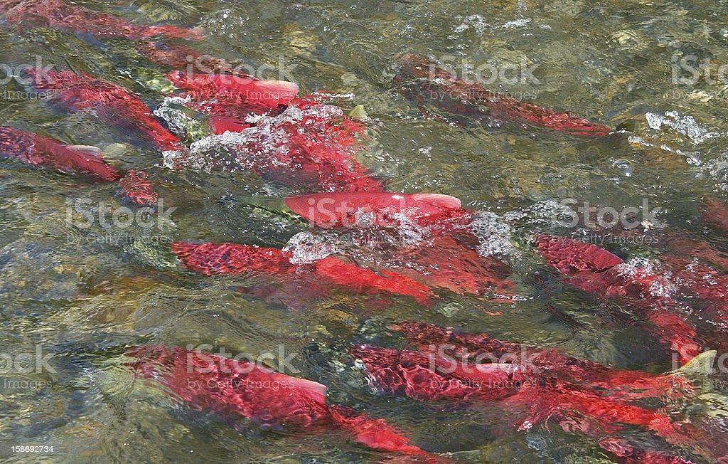 Alaska Sockeye Salmon royalty-free stock photo