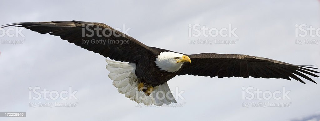 Alaskan Bald Eagle soaring through the skies stock photo