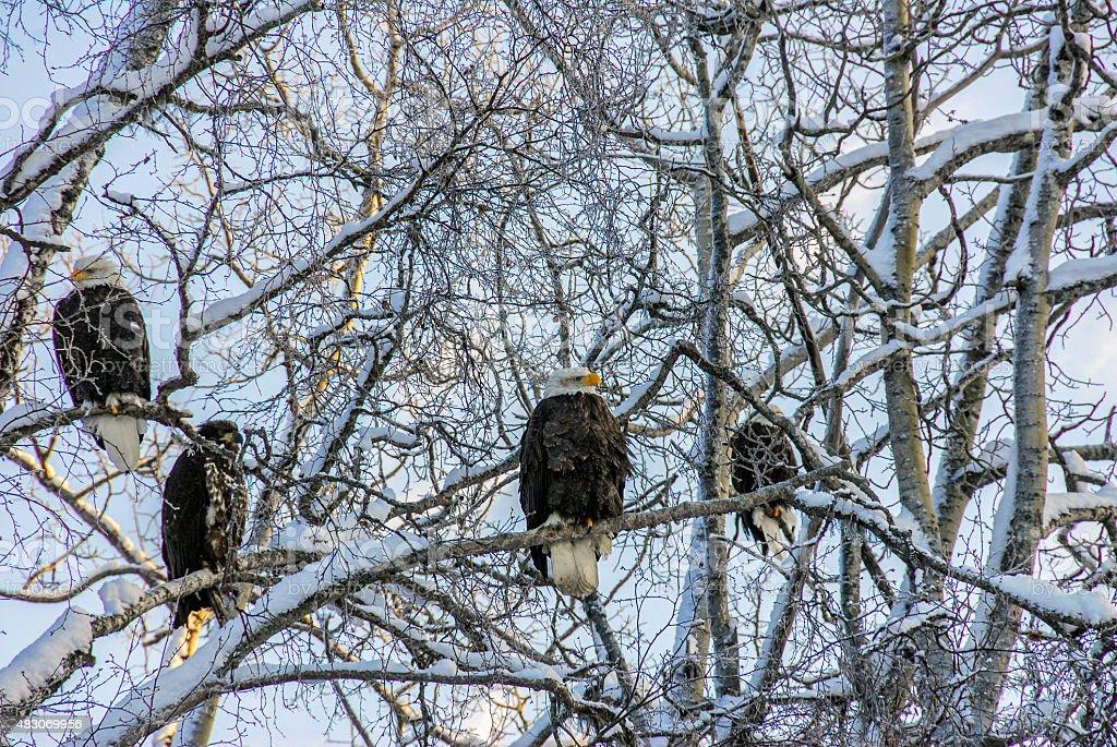 Alaskan Bald Eagles in winter stock photo