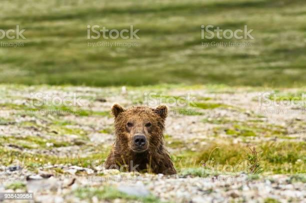 Photo of Alaskan bear look