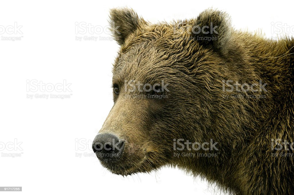 Alaskan Bear on White Background stock photo