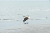 A wild bird glides along the ocean waves close to shore in search of its next meal.