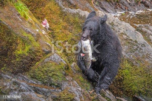 istock Alaskan Black Bear eating a salmon for lunch 1176113252