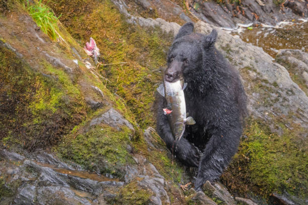 Alaskan Black Bear eating a salmon for lunch stock photo