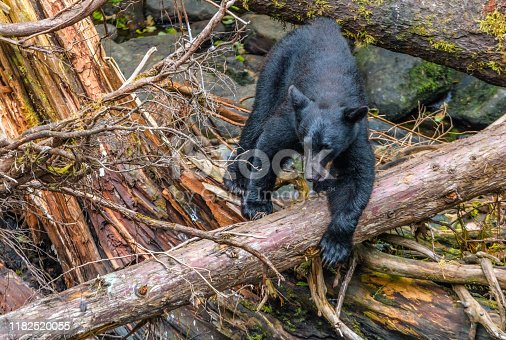 istock Alaskan Black Bear fishing for sockeye salmon from a log above a stream 1182520055