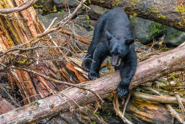 Alaskan Black Bear fishing for sockeye salmon from a log above a stream stock photo
