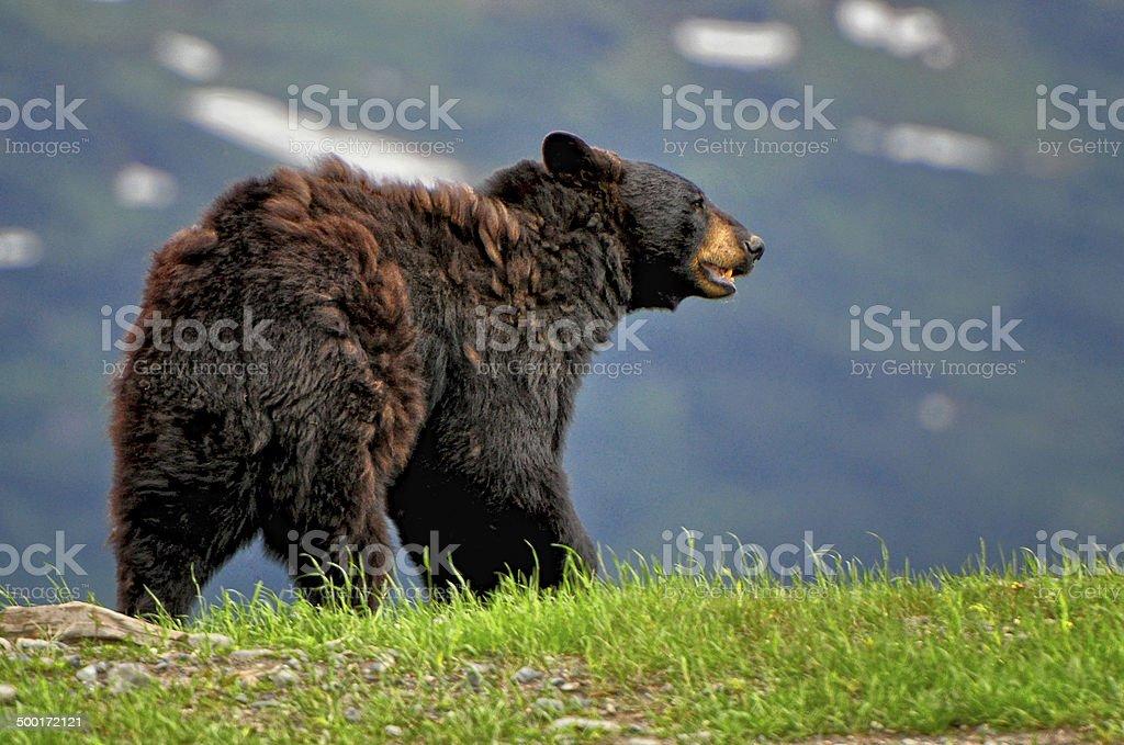 Alaskan Black Bear Walking stock photo