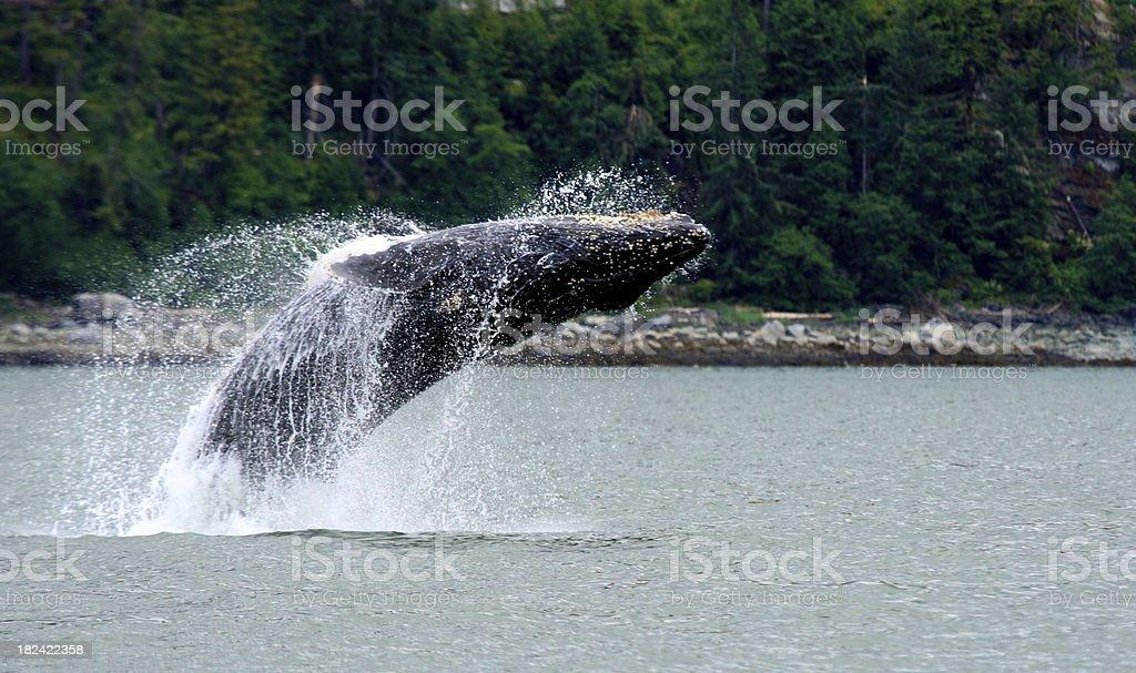 Alaskan Breaching Whale stock photo