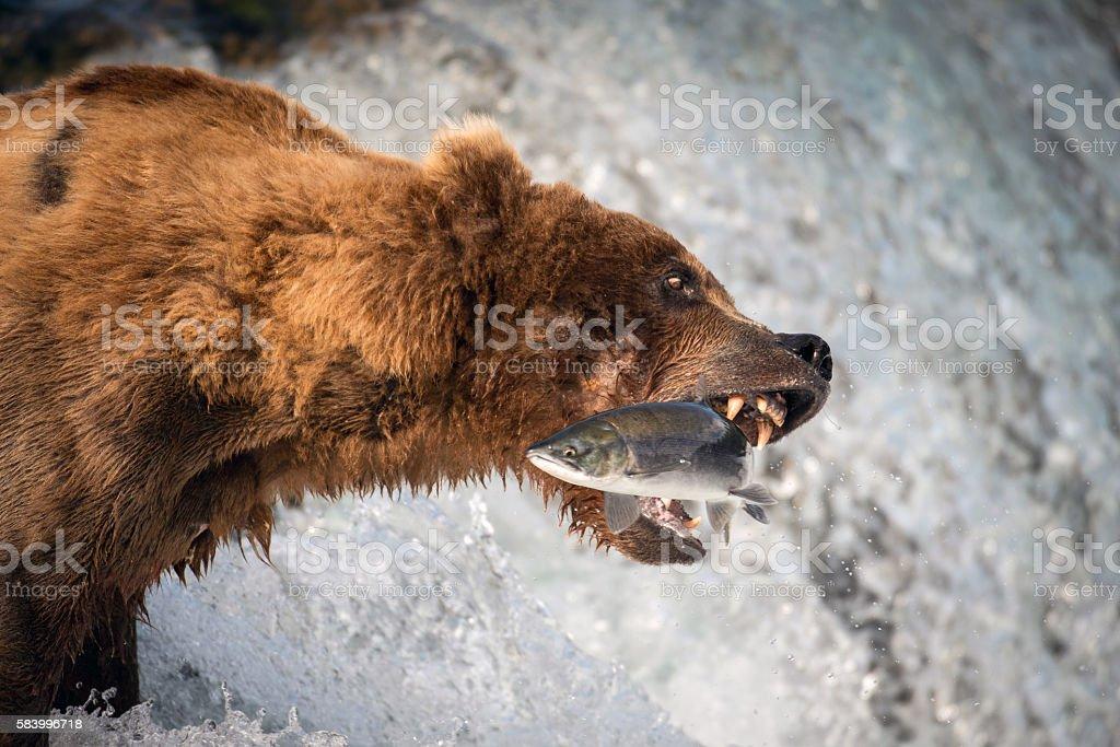 Alaskan brown bear catching salmon stock photo