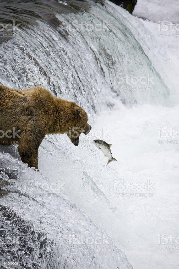 Alaskan Brown Bear Catching Salmon royalty-free stock photo