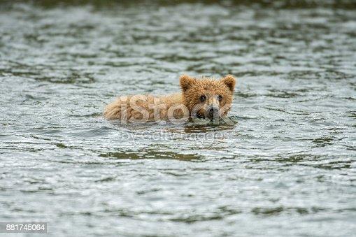 Alaskan brown bear cub in the Brooks RIver in Katmai National Park, Alaska