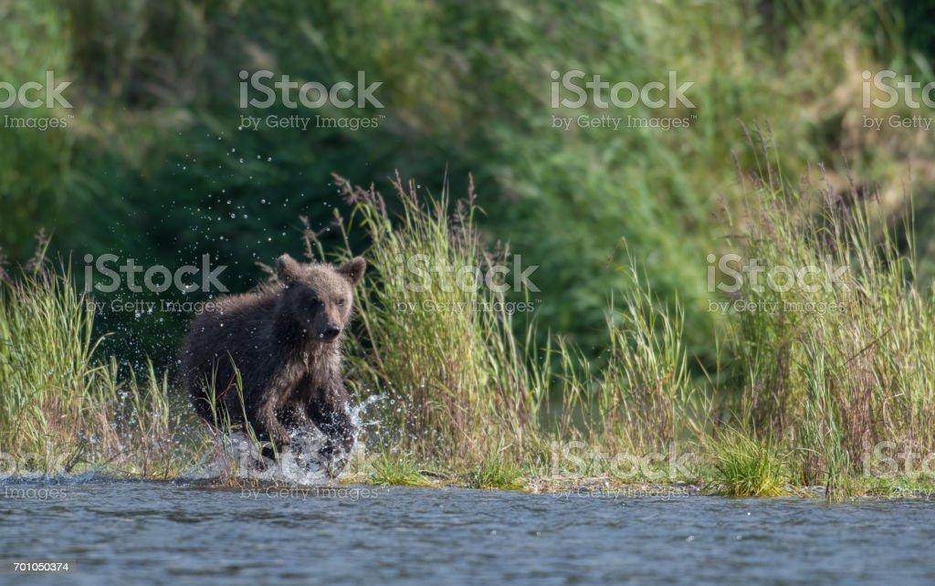 Alaskan brown bear cub stock photo
