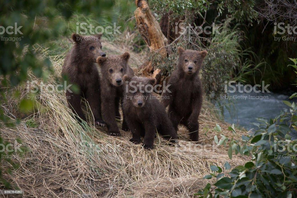 Alaskan Brown Bear Cubs stock photo