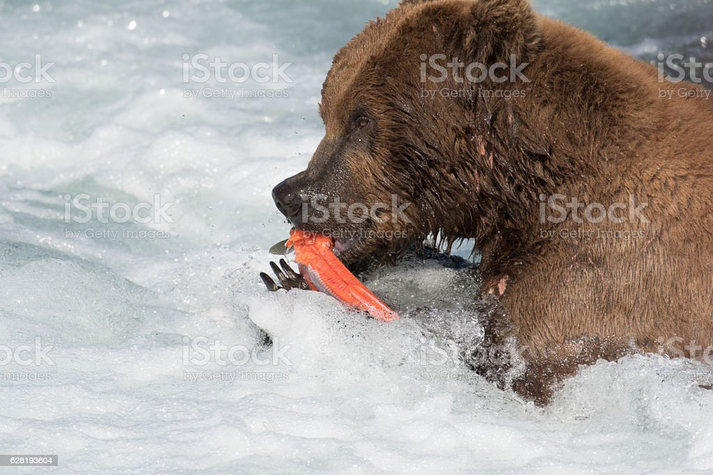 Alaskan brown bear eating salmon stock photo