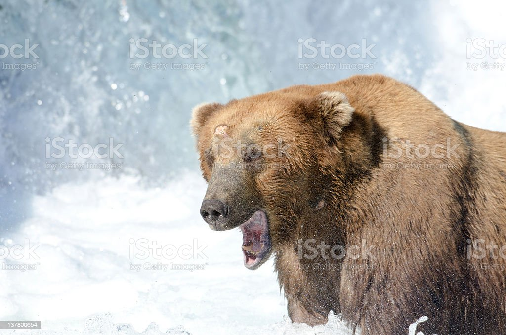 Alaskan brown bear fishing for salmon stock photo