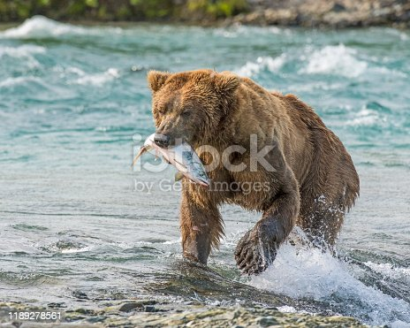 Alaskan Brown Bear at McNeil River
