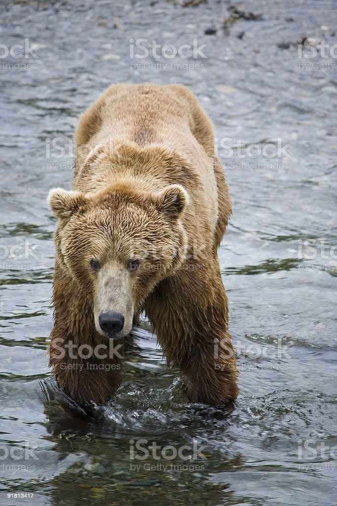 Alaskan Brown Bear royalty-free stock photo