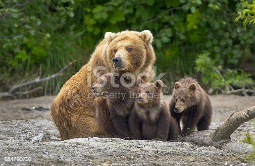 istock Alaskan brown bear sow and cubs 684790702