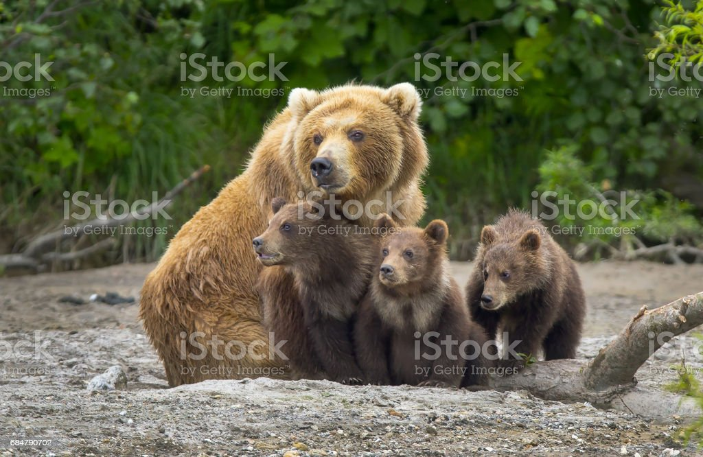 Alaskan brown bear sow and cubs stock photo