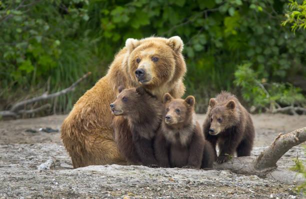 Alaskan brown bear sow and cubs stock photo
