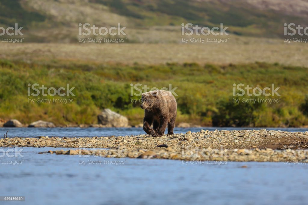 Alaskan brown bear (grizzly bear) walking along the riverbank – Foto