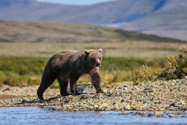 Alaskan brown bear (grizzly bear) walking along the riverbank – Foto