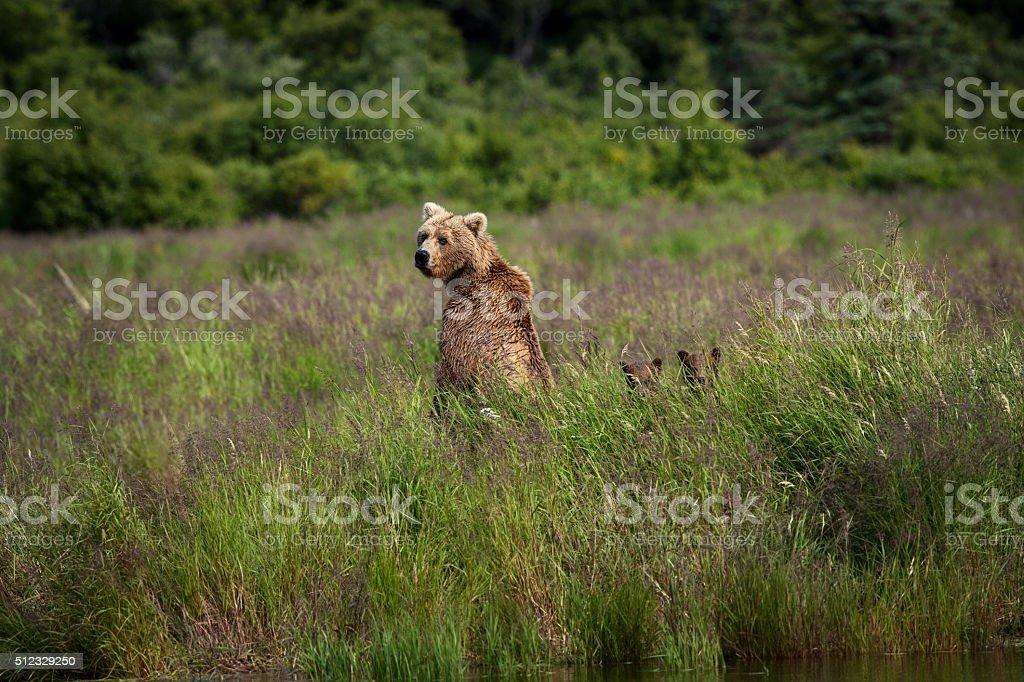 Alaskan Brown Bear with Cubs stock photo
