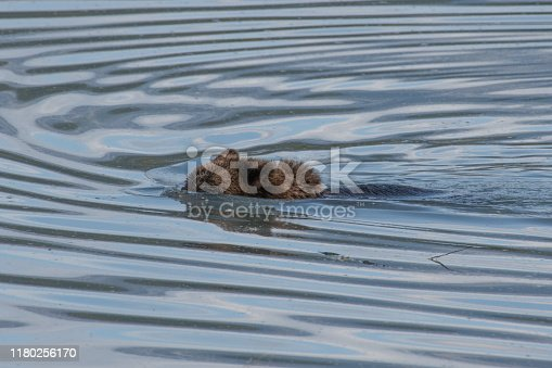 Brown bear close up swimming along coast of glacial river.