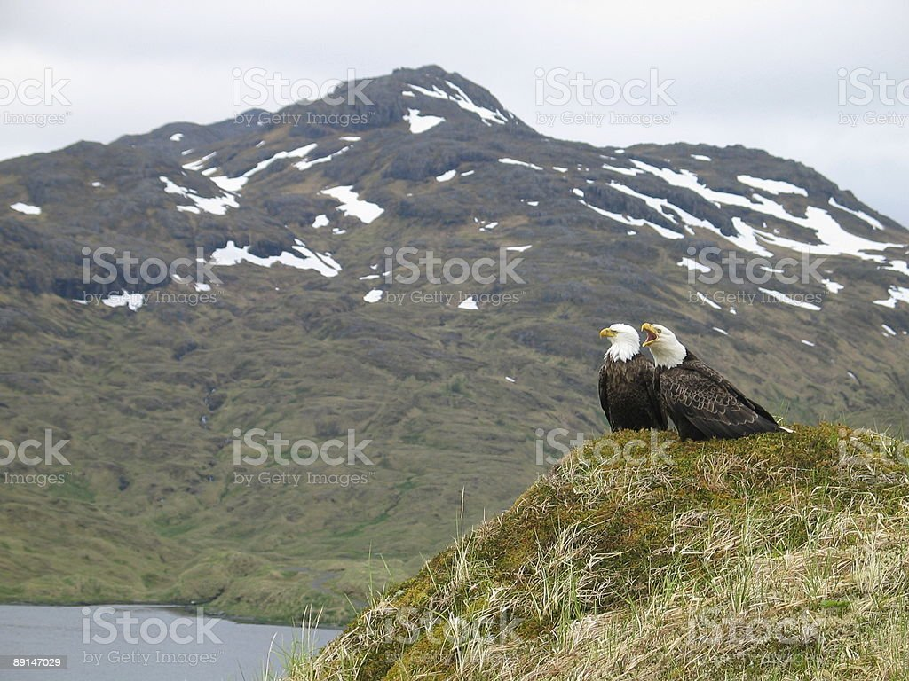 Alaskan eagles stock photo