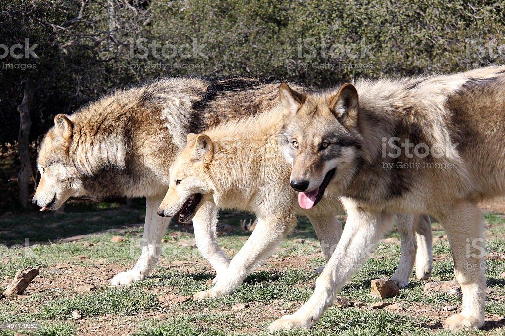Alaskan Gray Wolf Pack stock photo