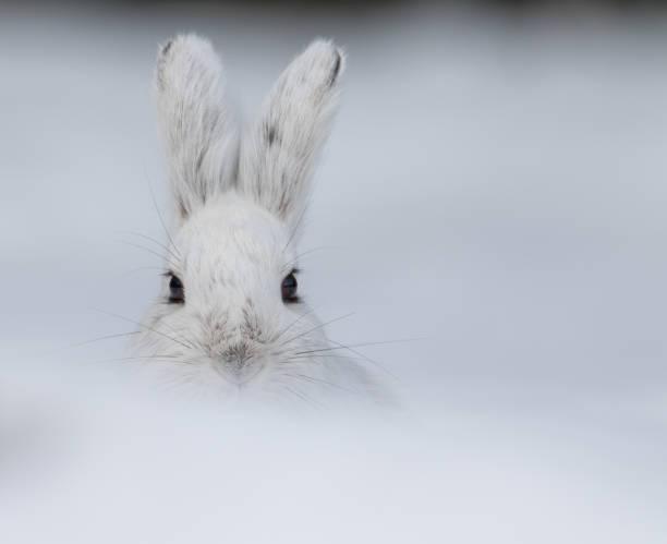 alaskan hare late winter - ツンドラ ストックフォトと画像