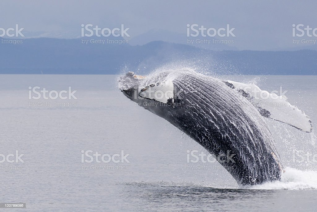 Alaskan Humpback Whale Breaching Frederick Sound 2 stock photo