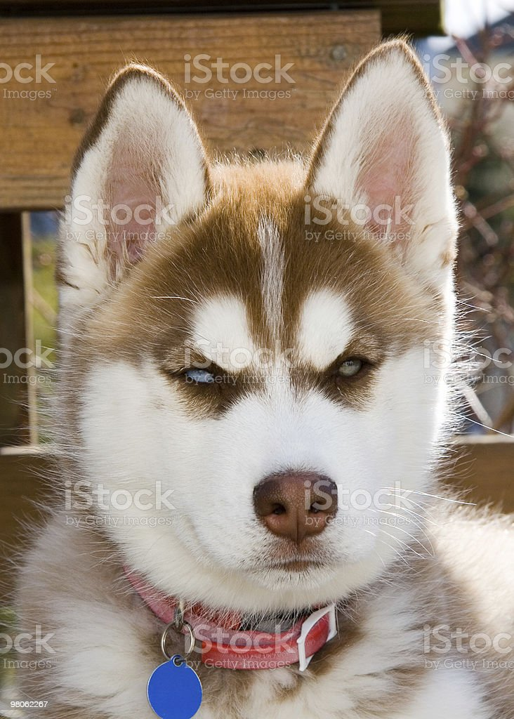 Alaskan Huskie Dog royalty-free stock photo