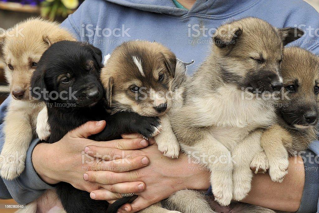 Alaskan Husky Puppies royalty-free stock photo