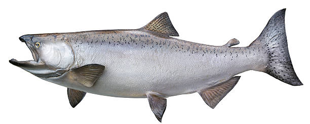 alaskan king salmon isolated on white - chinook salmon stock photos and pictures