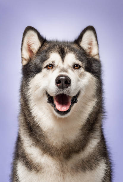 Alaskan Malamute, 2 years old, sitting in front of lilac background stock photo