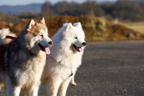 Alaskan Malamute und Samoyed Dogs auf Daily Walk. – Foto