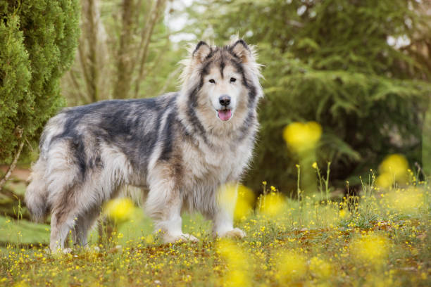 Alaskan Malamute dog in a park surrounded by yellow flowers. Alaskan Malamute dog in a park looking at the camera and surrounded by yellow flowers. malamute stock pictures, royalty-free photos & images