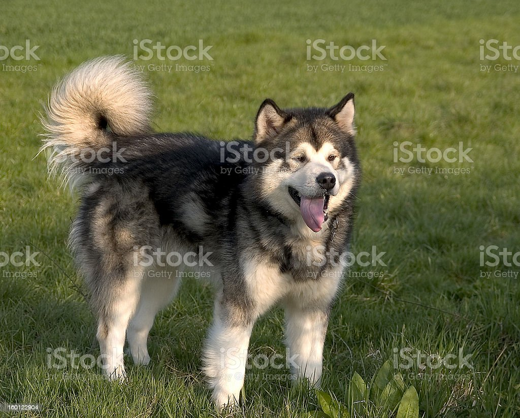 Alaskan Malamute Dog royalty-free stock photo