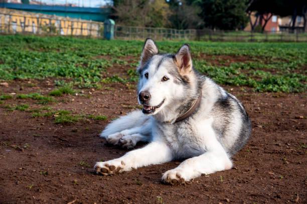 alaskan malamute dog, running happy at the park in Rome stock photo